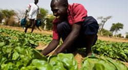 African Farmer Harvesting Crop